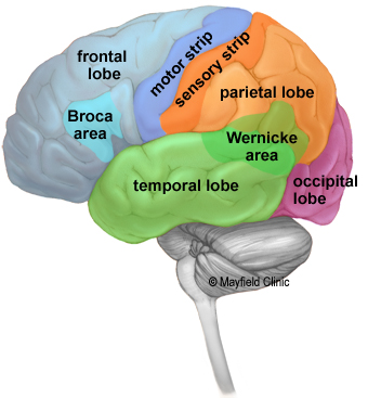 Brain Anatomy Anatomy Of The Human Brain