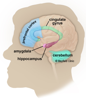 Brain Anatomy, Anatomy of the Human Brain