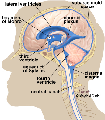 Brain anatomy anatomy of the human brain illustration side view of brain showing the ventricles deep within the brain and the flow ccuart
