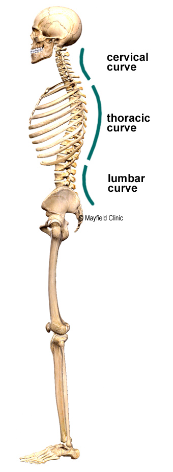 Spine Anatomy Mayfield Brain Spine Cincinnati